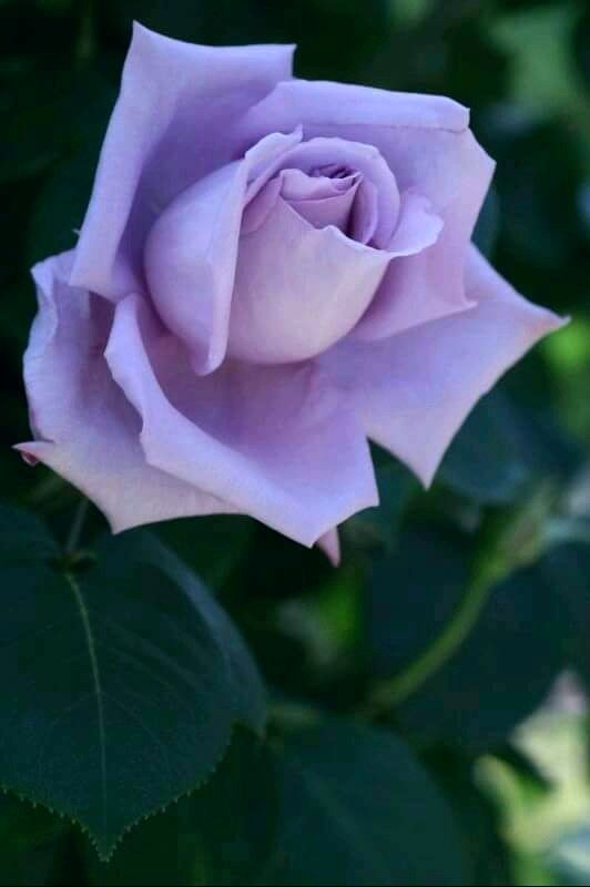 Rosas Roxas De Maria Heroina Em Bau Rosas Decoracao Com Flores