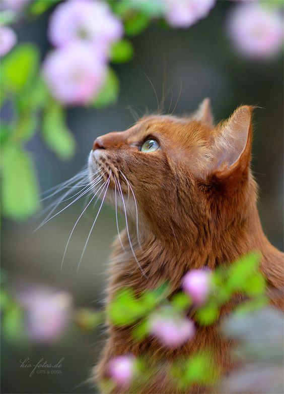 The Somali is an active and energetic cat breed, with one trait that stands apart considerably to name a few cat breeds: their dexterous paws.