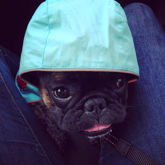 """Franklin on Instagram: """"# #tongueouttuesday #tongueouteveryday #franklinlefrenchie #rainhater #frenchieproblems #gremlin @canadapooch #franklinforcanadapooch"""""""