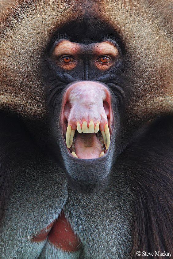 Gelada Baboon Teeth