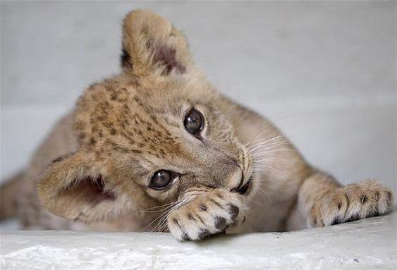 https://i.pinimg.com/564x/2d/f8/97/2df897c31d2b38f3f16c06e802829e58--lion-cub-baby.jpg