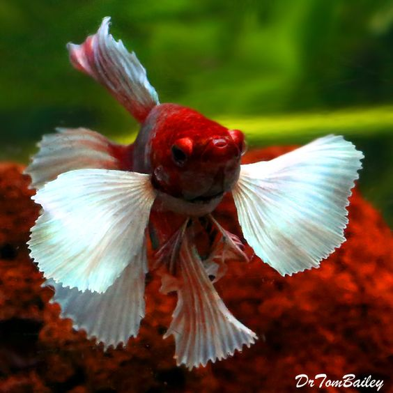 "Premium Assorted Dumbo Ear Halfmoon Male Betta Fish, 2"" to 2.5"" long Dumbo Ear Halfmoon Male Betta These beautiful NEW Bettas are a great gift for anyone! They come in different colors and all have those beautiful flowing fins, these are great for any desktop or room. Only $14.99!"