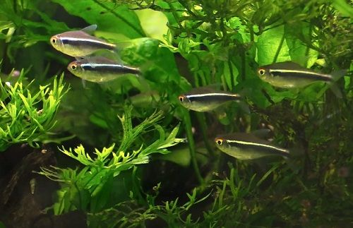 20 Types Of Tetras For Freshwater Aquariums With Quick Caring Information For Each Type Https Lovefishtank Com Tetra Freshwater Aquarium Neon Tetra Aquarium