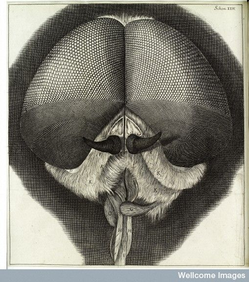 Robert Hooke, Micrographia, head and eyes of drone-fly
