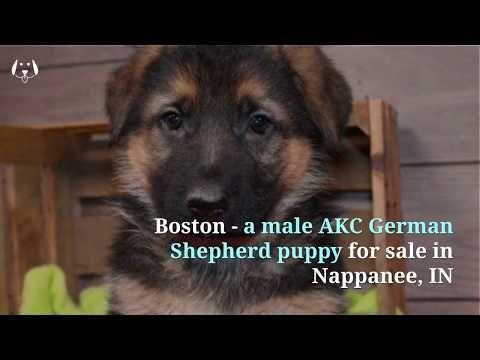 Boston A Male Akc German Shepherd Puppy For Sale In Nappanee In