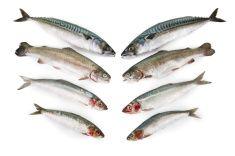 Fresh fish, Mackerel,Trout,Herring and Sardine on white background stock photo