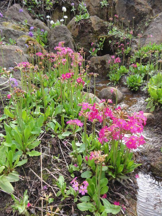 Die Rosenprimel (Primula rosea) liebt feuchte, konkurrenzarme  Bachufer.
