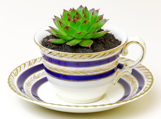 Sempervivum Tectorum Succulent in a Vintage Tea Cup por ArtisNatura