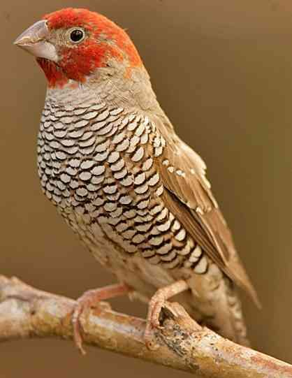 http://savethegouldian.org/articles/red-headed%20finch.jpg