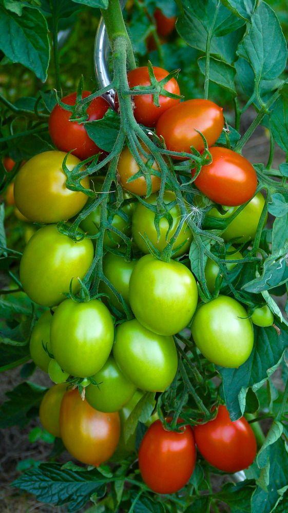 Tomaten 2013 by Dietmar Seiler-Fritsch