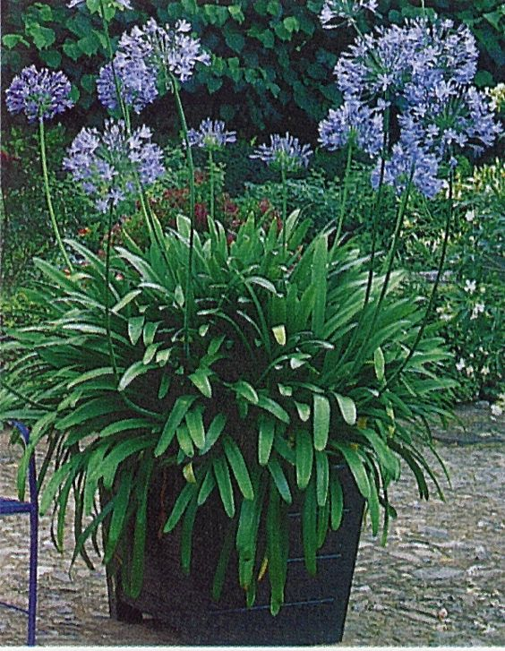 Agapanthus. Love these. Definitely need them, i have a couple in pots.