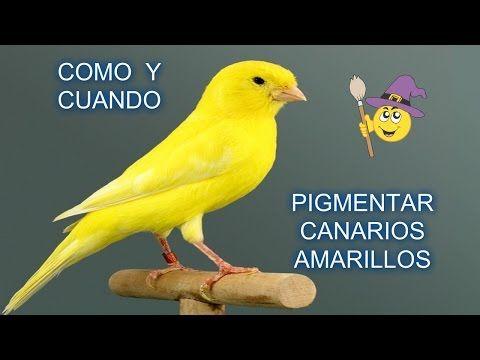 Como Y Cuando Pigmentar Canarios Amarillos Youtube Canarios Canario Ave Aves