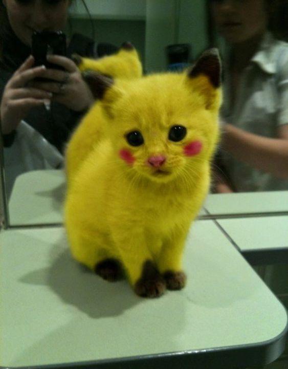Avez-vous entendu parler des Pokemons, et du fameux Pikachu ? Si vous avez des enfants, ils le connaissent certainement. Et bien, sachez que certains « fans » de ce dessin animé ont tout bonnement déguisé leur chaton en Pikachu, le Pokemon jaune. Le résultat est plutôt réussi, mais je ne suis pas sûr que ce chat apprécie ...