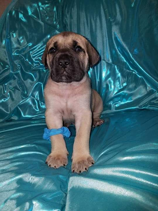 Daniff Puppy For Sale In Byron Mi Adn 29717 On Puppyfinder Com Gender Female Age 6 Weeks Old Puppies For Sale Puppies Fur Babies