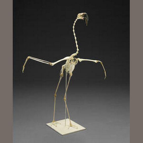 flamingo skelett