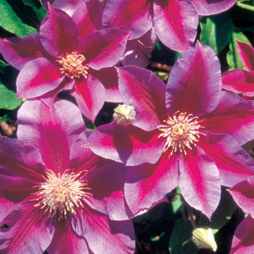 Kilian Donahue Clematis Plant