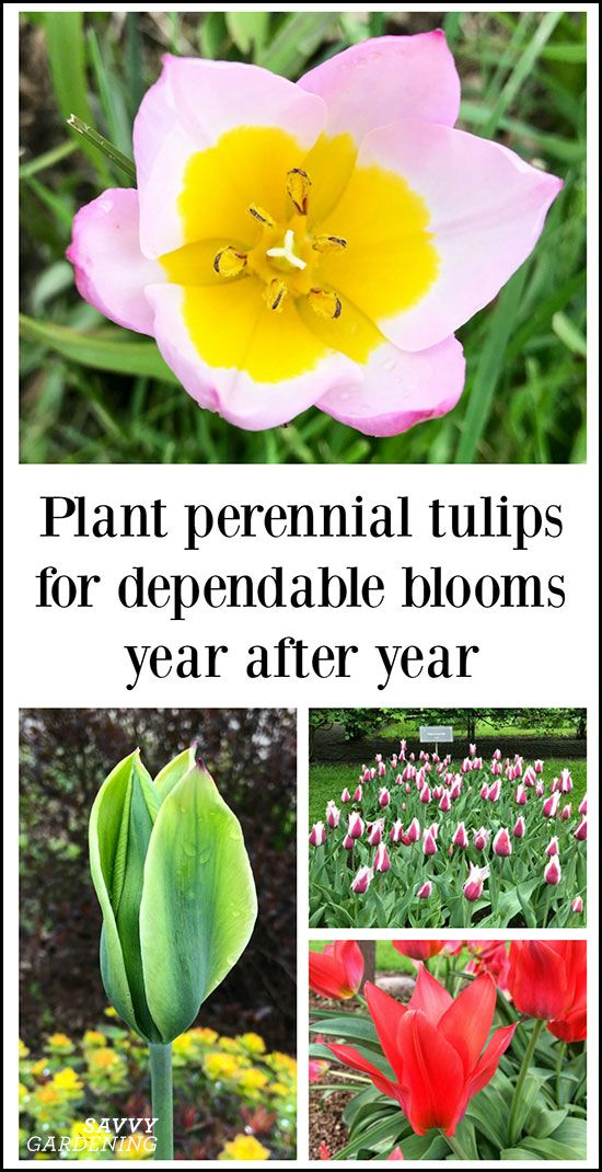 The Best Perennial Tulips For Dependable Multi Year Blooms Best Perennials Perennials Planting Bulbs