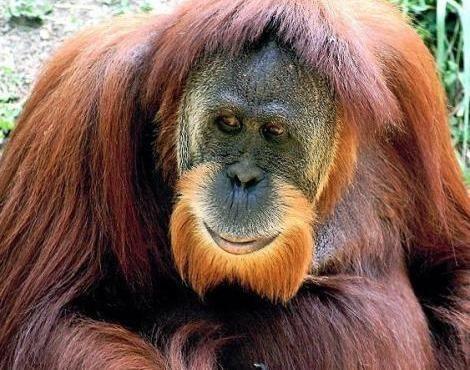 #Orangutan #monkey