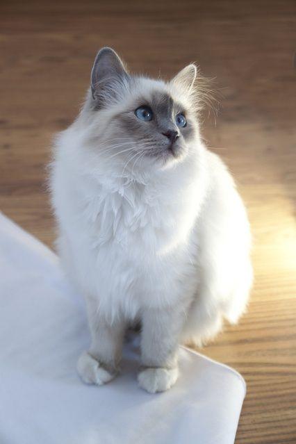 Birman cat - sure looks like my Ragdoll!