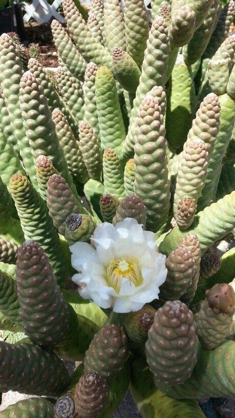 Pine cone cactus: