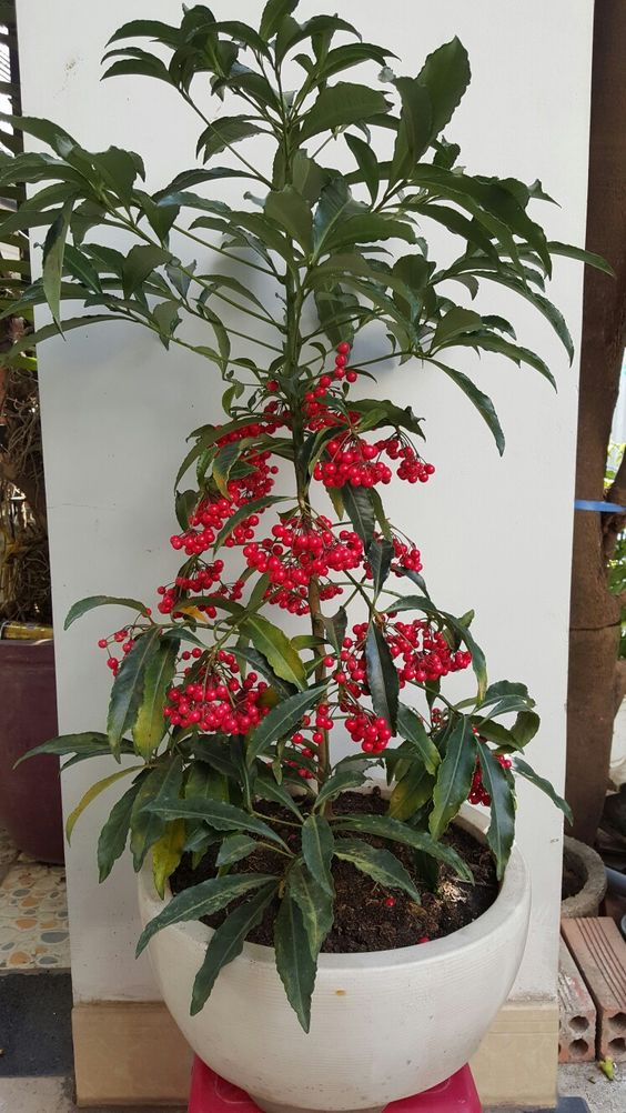 A lucky pot plant in Vietnam new year occasion