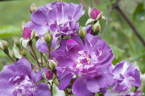 Rose 'Veilchenblau'