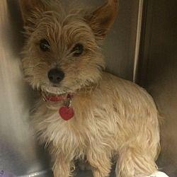 Oak Ridge New Jersey Yorkie Yorkshire Terrier Cairn Terrier