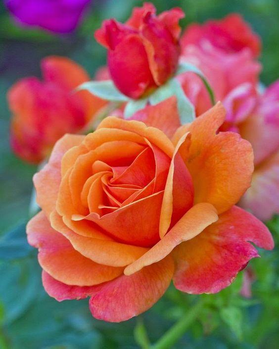Orange Garden Rose: Ʀεƥɪииεð╭•⊰ © βƴ Ʀσxʌиʌ Ƭʌиʌ