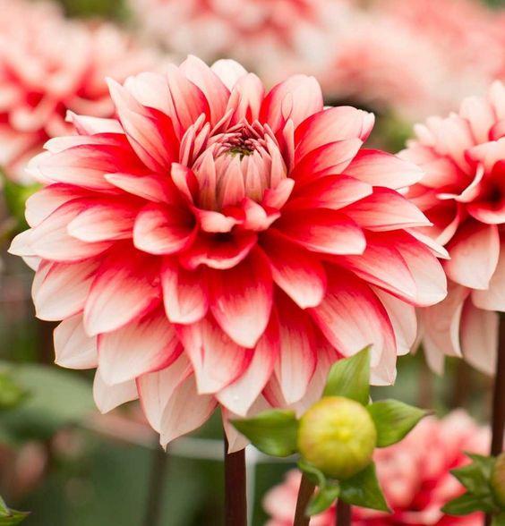 Larry S Love Decorative Dahlia 2 Bulb Clumps Top Size Hirt S Gardens Garden Soil Planting Bulbs Garden Bulbs