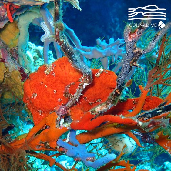 This huge red #frogfish is hiding in plain sight. Color is often not much help in identifying different frogfish since some have many different colors to allow them to camouflage themselves within their environment. Depending on the species, this color change might take seconds or weeks. #GonnaDive #Indonesia #Bali #MenjanganIsland