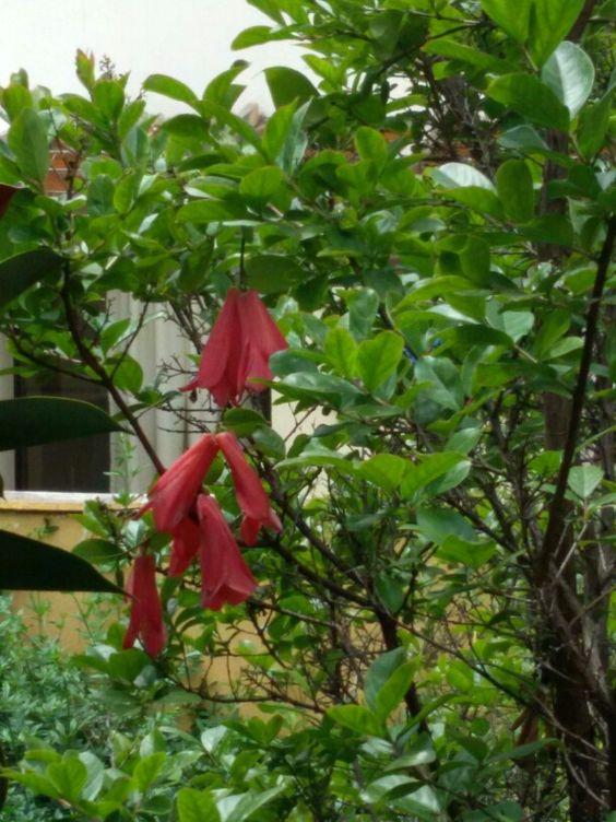 Copihue Chile flor nacional