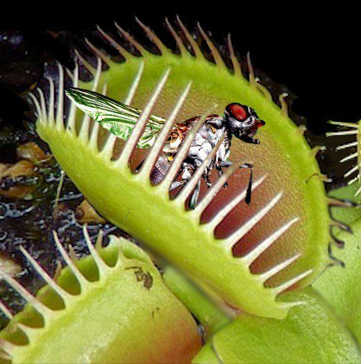 All About Venus Flytraps And How To Care For This Carnivorous Plant Venus Fly Trap Venus Fly Trap Care Carnivorous Plants