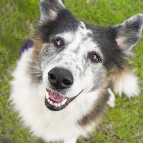 Adopt Carley Simon On Petfinder Dog Adoption Collie Shepherd Mix Dog