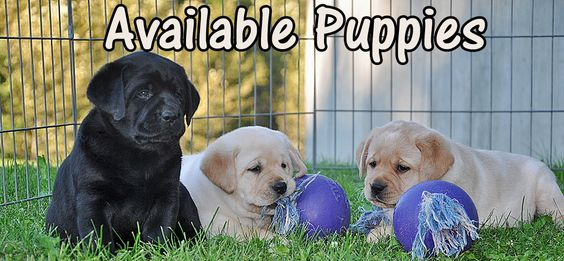 Riorock Labrador Retrievers Breeders New England New Hampshire