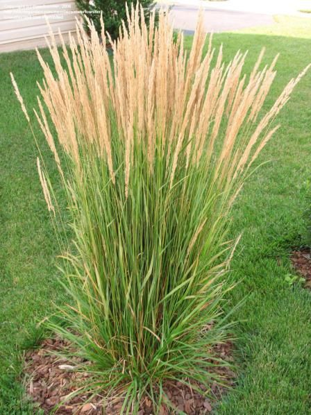 """Feather Reed Grass (Calamagrostis acutiflora 'Karl Forester') tolerates a wide range of soil conditions but perform best in full sun. Hardy to Zone 4, cut it back to 5″ in mid-March. A slight breeze will put the 5′ tall, feathery """"blooms"""" in motion which adds life to any landscape.  Because of its strong vertical growth habit it is more likely to maintain its posture even in heavy rains or snows. Deer resistant."""