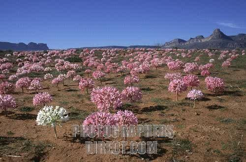 Pin By Sonja On Namaqualand Desert Plants Candelabra Flowers Desert Flowers