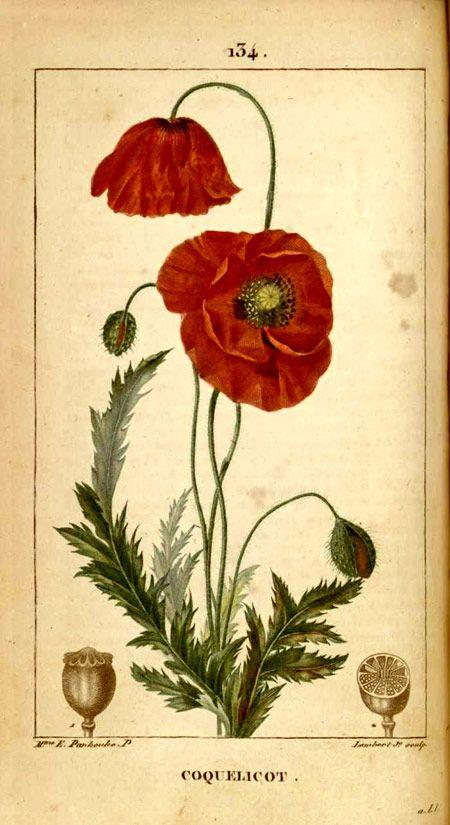 poppies coquelicot                                                       …