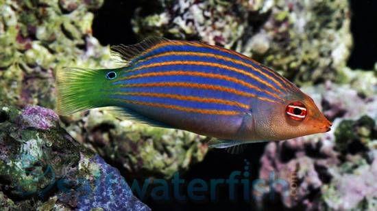 Six Line Wrasse Prime Time Deal Saltwater Fish Wrasses Reef Safe Marine Aquarium Fish Wrasse Reef Safe Fish