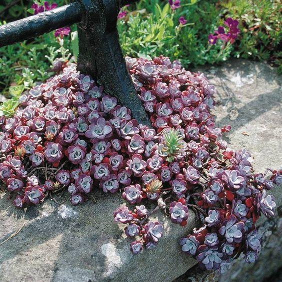 Sedum spathulifolium Cape Blanco (3) | Sedum | Perennials ...