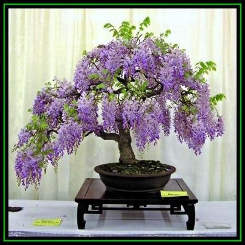 5 wisteria sinensis chinese wisteria bonsai seeds free for Rare bonsai species