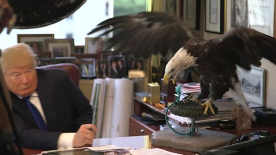 Donald Trump attacked by American bald eagle – video