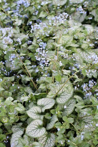 """Brunnera """"Jack Frost"""" - a possibility near the redwood and cedar"""