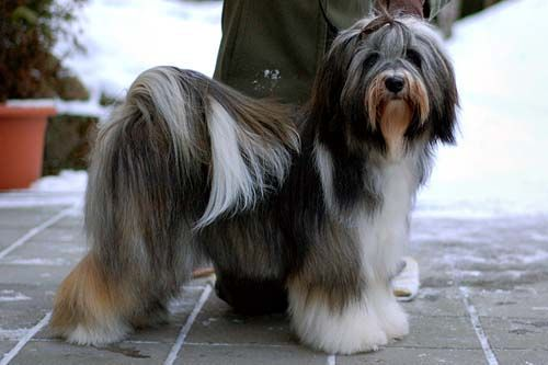 Pin On Tibetan Terrier