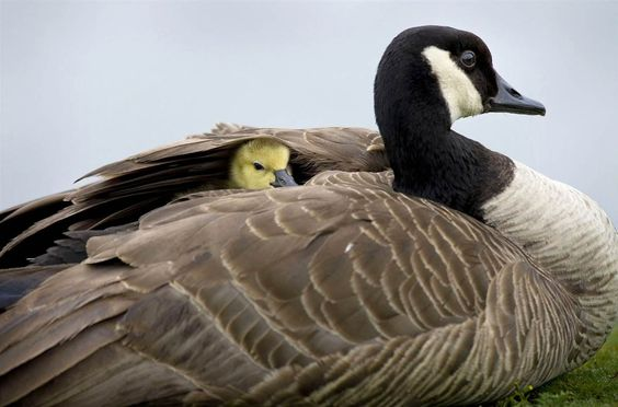 Canada Goose parka online authentic - A baby goose hiding under its mother's wing. He will cover you ...