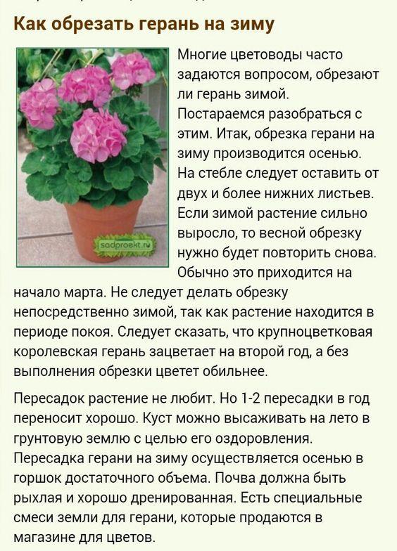 Пеларгония (Герань) - Страница 2 2e7e7b476c7b65c9d835c65fef3abd59