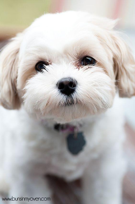 Zuchon (shih tzu bichon mix) This is the dog for you Leigh Shepherd!!