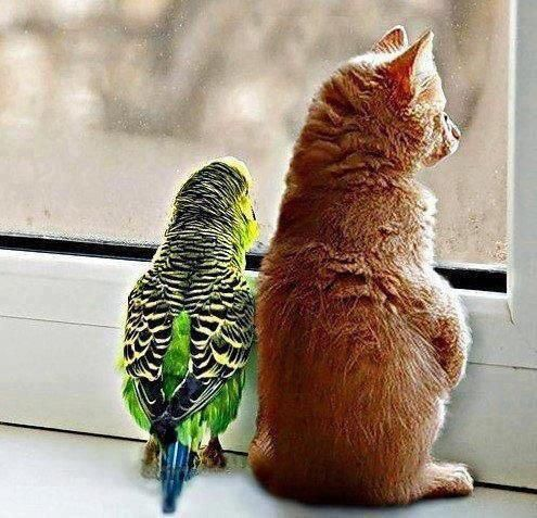 budgie and kitty at window
