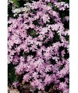 Emerald Pink Creeping Phlox (Phlox subulata 'Emerald Pink') -Plant a carpet of color! Beautiful masses of bright pink flowers topping creeping stems make an attractive compact groundcover or accent in a rock garden. Excellent bank cover. Tolerates some drought. Evergreen.