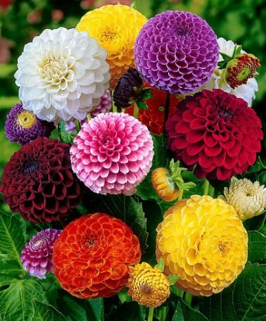 Mixed Pompon Dahlias with their brilliant globular flowers in bright, cheerful colours. Ideal for borders and spectacular as cut flowers in a vase.: