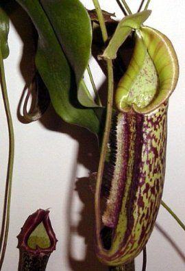 "Miranda Velvet Pitcher Plant - Nepenthes - Carnivorous - HUGE -8"" Hanging Basket"